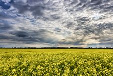 Free Field Of Blooming Rapeseed Plants Royalty Free Stock Photo - 92238225