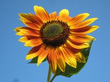 Free Flower, Sunflower, Sunflower Seed, Flowering Plant Royalty Free Stock Photo - 92239105