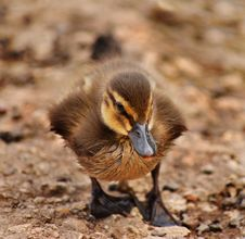 Duckling Walking Royalty Free Stock Images