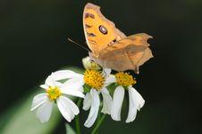 Beautiful Butterfly On Little Daisy Stock Photos