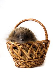 Free Hedgehog In A Wicker Basket Stock Photography - 9232722