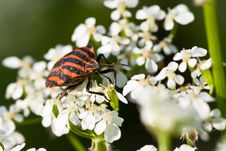 Hemiptera Red Stink Bug In White Flowers Stock Images
