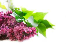 Lilac Flowers Over White Royalty Free Stock Photos