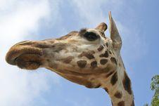 Free Giraffe Profile Stock Photos - 9235493
