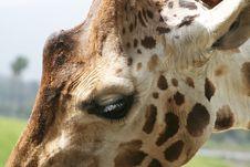 Free Giraffe Head Royalty Free Stock Photo - 9235495