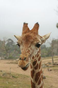 Free Young Giraffe Stock Photo - 9235510