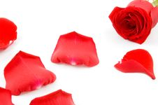 Lots Of Rose Leafs With Red Rose Stock Image