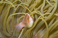 Free Pink Anemone Fish (Amphiprion Perideraion) Royalty Free Stock Photos - 9236678