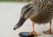 Free Curious Duck Stock Image - 9238381
