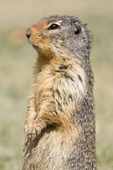 Free Standing Ground Squirrel Close-up Royalty Free Stock Photos - 9238408
