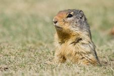 Free Watching Ground Squirrel Royalty Free Stock Photography - 9238417