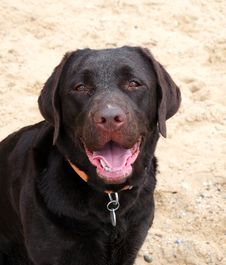 Free Labrador On The Beach Stock Photography - 9239202