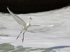 Free Egret In Flight Royalty Free Stock Photography - 9239617