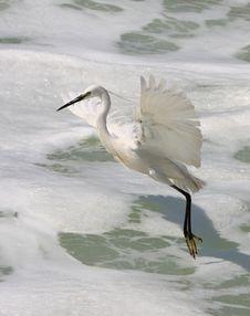 Free Egret In Flight Royalty Free Stock Photo - 9239655