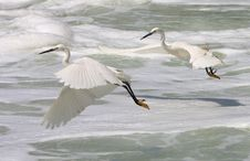 Free Egrets In Flight Stock Photos - 9239803