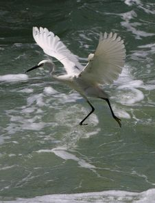 Free Egret Royalty Free Stock Images - 9239849
