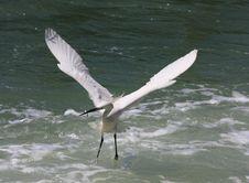 Free Egret3 Stock Images - 9239884