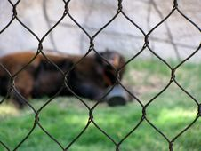 Free Bear, Caged In. Stock Images - 92329674