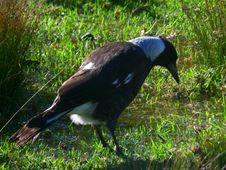 Free Australian Magpie Royalty Free Stock Image - 92330006