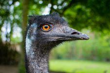 Free Emu Royalty Free Stock Photography - 92330057