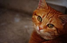 Free Orange Tabby Cat Royalty Free Stock Photography - 92330667