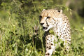 Free Cheetah Stalk Royalty Free Stock Image - 9249536