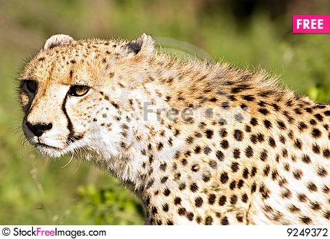 Free Cheetah Stalk Stock Photography - 9249372