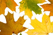 Free Maple Leaves Royalty Free Stock Photography - 9240427