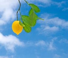 Free Lemon On Branch Royalty Free Stock Images - 9240989