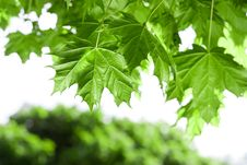 Free Spring Maple Leaves Stock Photos - 9241253