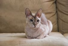 Free Sphinx Cat Royalty Free Stock Photo - 9245615