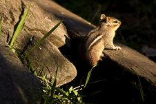 Free Chipmunk Stock Images - 9246674