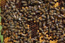 Free Bees On Honeycomb Stock Photos - 9247113
