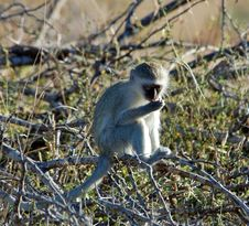 Free Vervet Monkey Royalty Free Stock Image - 9247376