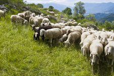 Free Sheep Royalty Free Stock Images - 9247539
