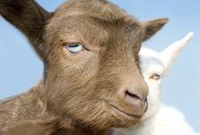 Free The Young  Goatling. Stock Photo - 9247600