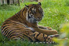 Free Sumatran Tiger Stock Image - 9247701