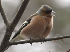 Free Chaffinch Royalty Free Stock Photo - 9248295
