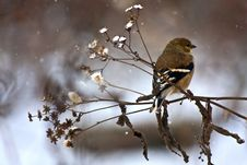 Free American Goldfinch On A Brench Royalty Free Stock Photo - 9248335
