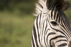 Free African Zebra Eye Royalty Free Stock Image - 9248916