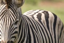 Free Closeup Of Zebra With Body Royalty Free Stock Photography - 9249157