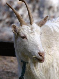 Free Goat Royalty Free Stock Photo - 9249325