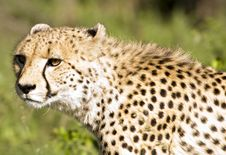 Free Cheetah Stalk Stock Photography - 9249372