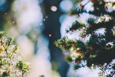 Free Close-up Of Pine Tree Branch Stock Photography - 92428472