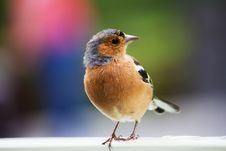 Free Common Chaffinch Royalty Free Stock Photography - 92429387