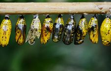 Free Yellow And Black Butterflies Cocoon Royalty Free Stock Photography - 92429397