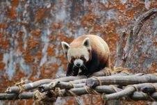 Free Red Panda On Wooden Scaffolding Stock Image - 92429591