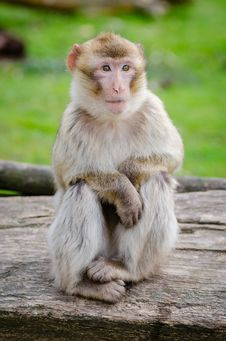 Free Barbary Macaque Stock Photo - 92460200