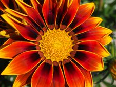 Free Red And Yellow Gazamia Flower Stock Photo - 92460330