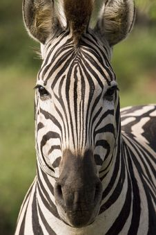Free Square Zebra Stock Image - 9250041